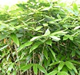 Sasa Palmata 'Nebulosa' live bamboo plant #1 size, very large tropical leaves.