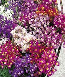 Semillas marroquí Toadflax buketnaya (Linaria maroccana) orgánico flor mezcla de semillas