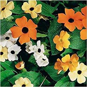 100 Seeds, Black Eyed Susan Vine Mixed Colors (Thunbergia alata) Seeds By Seed Needs