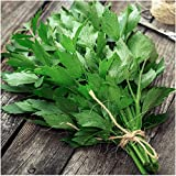 Package of 500 Seeds, Lovage Herb (Levisticum officinale) Non-GMO Seeds by Seed Needs