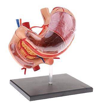 Baoblaze 2/3 Menschlicher Magen Pankreas mit internem Organ Anatomie ...