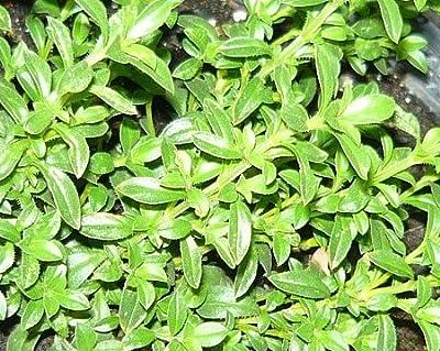 Winter Savory Live Herb Plant