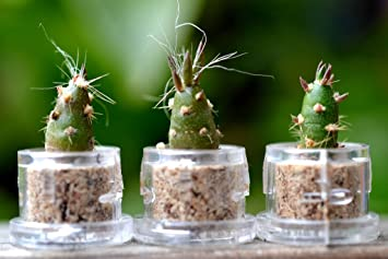 Amazon.com: Vampire Cactus terrario Llavero Clip: Jardín y ...