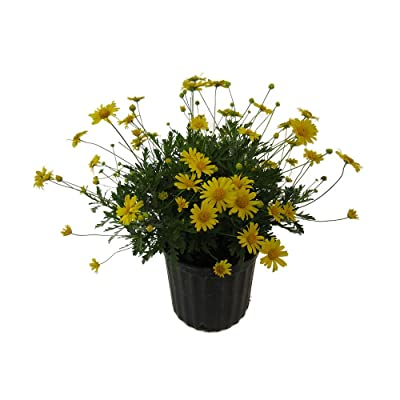 AMERICAN PLANT EXCHANGE Daisy Bush Live Plant, 3 Gallon, Yellow Flowers : Garden & Outdoor