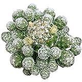 Thimble Cactus Mammillaria Cactus Gracilis Fragilis Succulent (2 inch)