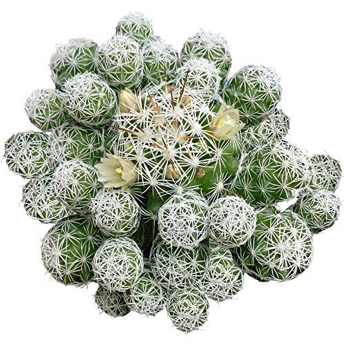 Thimble Cactus Mammillaria Cactus Gracilis Fragilis Succulent (4 inch)