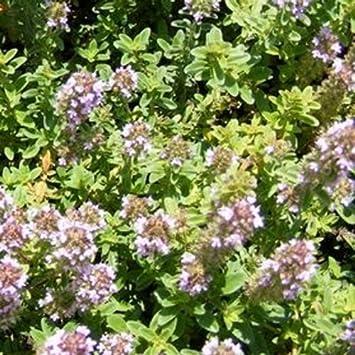 Garten Thymian Deutscher Winter Thymus Vulgaris 100 Samen