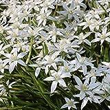 20 Bulbs of Ornithogalum Umbellatum (Star of Bethlehem)