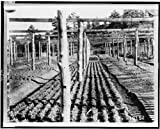 Photo: Bed,year-old yellow pine trees,Mount Herman Nursery,Pike National Forest,CO,1909 offers