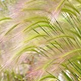 Outsidepride Hordeum Jubatum Ornamental Grass Plant Seed - 1000 Seeds