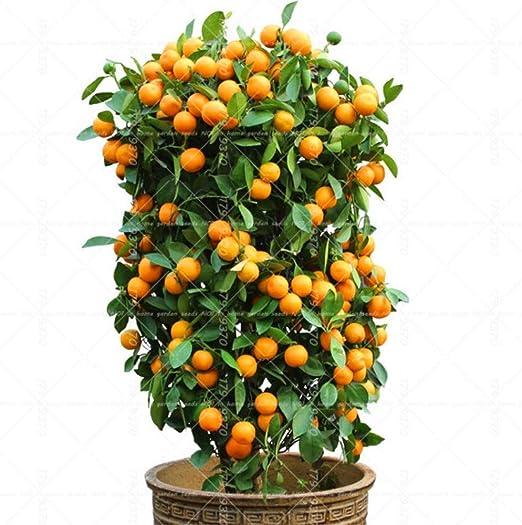 40pcs Citrus reticulata bonsai en maceta de Bonsai orgánicos ...