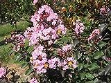 """Rhapsody in Pink Crape Myrtle - Lagerstroemia - 4"""" Pot"""