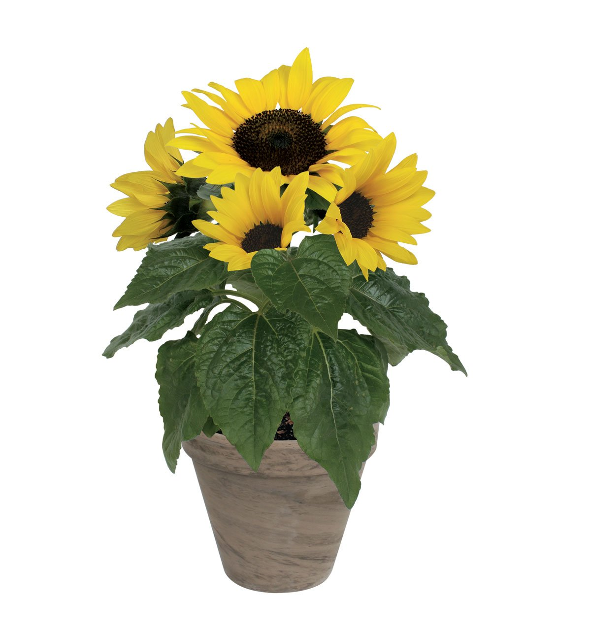 Quality Sunflower Grow Kit | Grow Your Own Unique Dwarf Sunflower from Seed in Just A Few Weeks | Unique Basalt Pot, Non-GMO Mother's Day Gardening Kit with Easy Instructions | by TotalGreen Holland (Image #7)