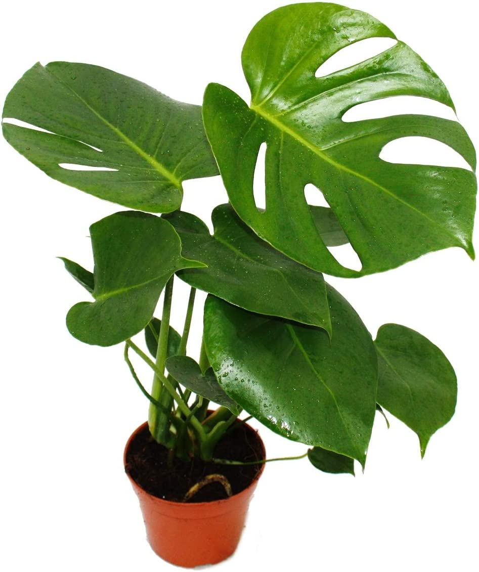 Monstera deliciosa - window leaf - 12cm pot - about 30-35cm high