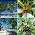 1 Coconut Palm Tree Seed Ready to Plant from Homestead Florida