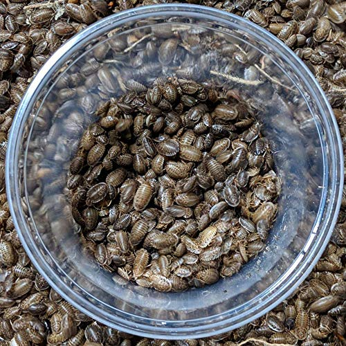 """DBDPet Premium Live Dubia Roaches 255ct Small (0.25-0.375"""") - Bearded Dragon, Leopard Gecko, Phelsuma, Chameleon, and Other Small Reptile Food - Includes a Caresheet"""