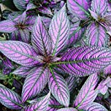 LIVE PLANTS Persian Shield, Strobilanthes, Exotic, gorgeous live plants, iridescent purple and silver leaves. Grows to 5 feet.