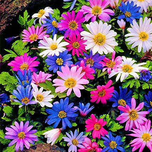 - 30pcs/Bag Seeds African Daisies osteospermum Plant Perennial Herbs Garden Flowers Balcony Interior Office Pot Plants