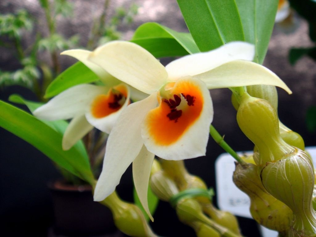 4 Live Orchid Plants to Choose (Dendrobiums) by Angel's Special (Image #6)