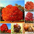 20pcs Red Oak Tree seeds bonsai tree seeds Quercus Alba Shade Acorn Seeds plant for home garden