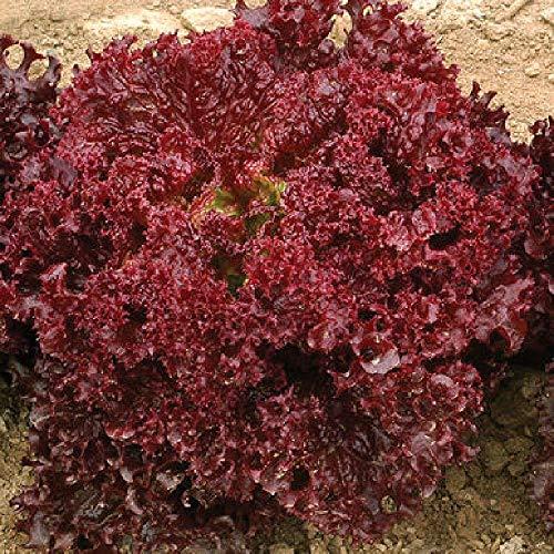 David's Garden Seeds Lettuce Dark Red Lollo Rossa SL3859 (Red) 500 Non-GMO, Open Pollinated, Organic Seeds (Rossa Seeds)