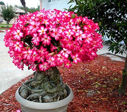 Best Quality - Bonsai - Pcs/Bag Desert Rose Bonsai,Potted Flowers Bonsai, 100% True Bonsai Adenium Obesum Office Indoor Bonsai Plant Mini Potted Tree - by SeedWorld - 1 PCs