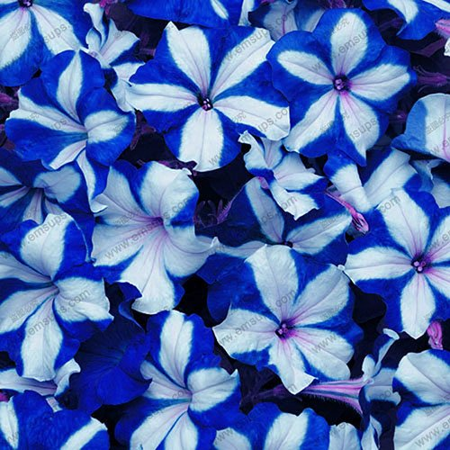 Berserk Specials Promotion Balcony Potted Rare Blue White Petunia Flower Seeds Flowering Plants 100 Particles / lot Seeds