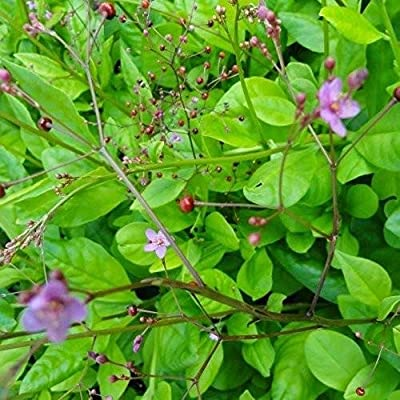 Jewels of Opar Seeds (Talinum paniculatum) 50+ Rare Organic Medicinal Herb Seeds in FROZEN SEED CAPSULES for The Gardener & Rare Seeds Collector - Plant Seeds Now or Save Seeds for Years : Garden & Outdoor