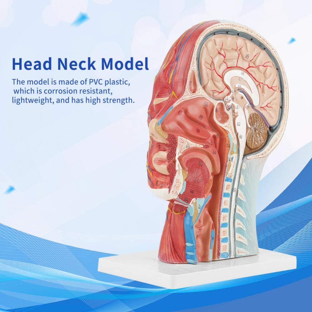 Anatomical Human Anatomical Half Head And Face Anatomy Medical Brain