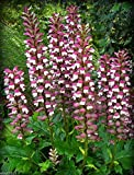 Bear's breeches plant seeds,Tropical look,Excellent cut flowers, fresh or dried.(10 Seeds)
