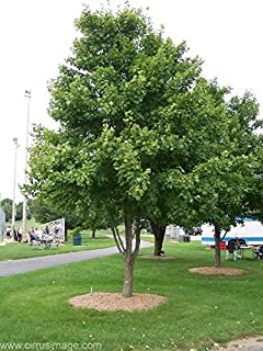 Amazon dwarf southern magnolia magnolia grandiflora little red maple tree acer rubrum heavy established roots 1 trade gallon pot 1 plant by sciox Gallery