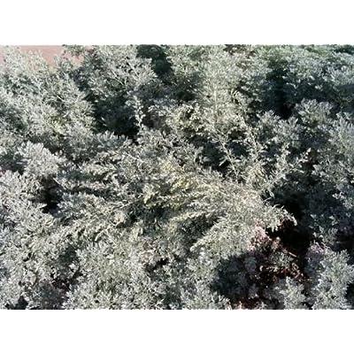 Artemisia absinthium ABSINTH or WORMWOOD Seeds : Garden & Outdoor