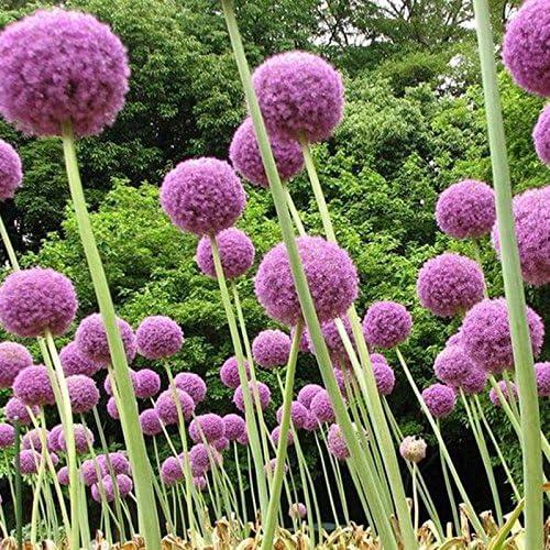 Inicio planta de jardín 100 semillas Phlox estrella del centelleo, Semillas de flores Phlox Drummondii Cuspidata: Amazon.es: Jardín