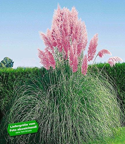 BALDUR-Garten Rosa Pampasgras, 1 Pflanze Cortaderia