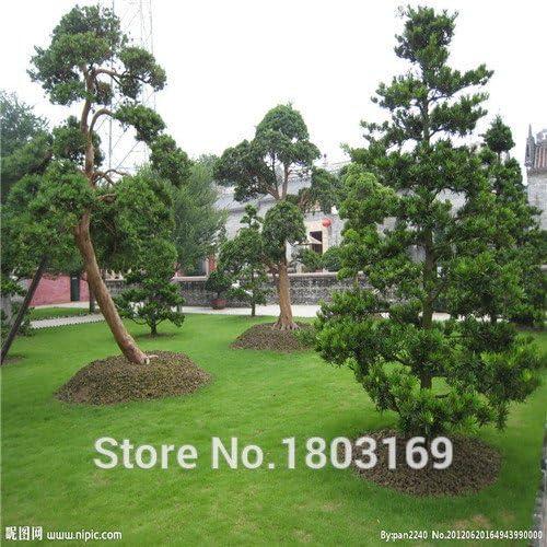 vendedora caliente de 100 semillas / pack Cipreses semillas de coníferas semillas casa jardín: Amazon.es: Jardín
