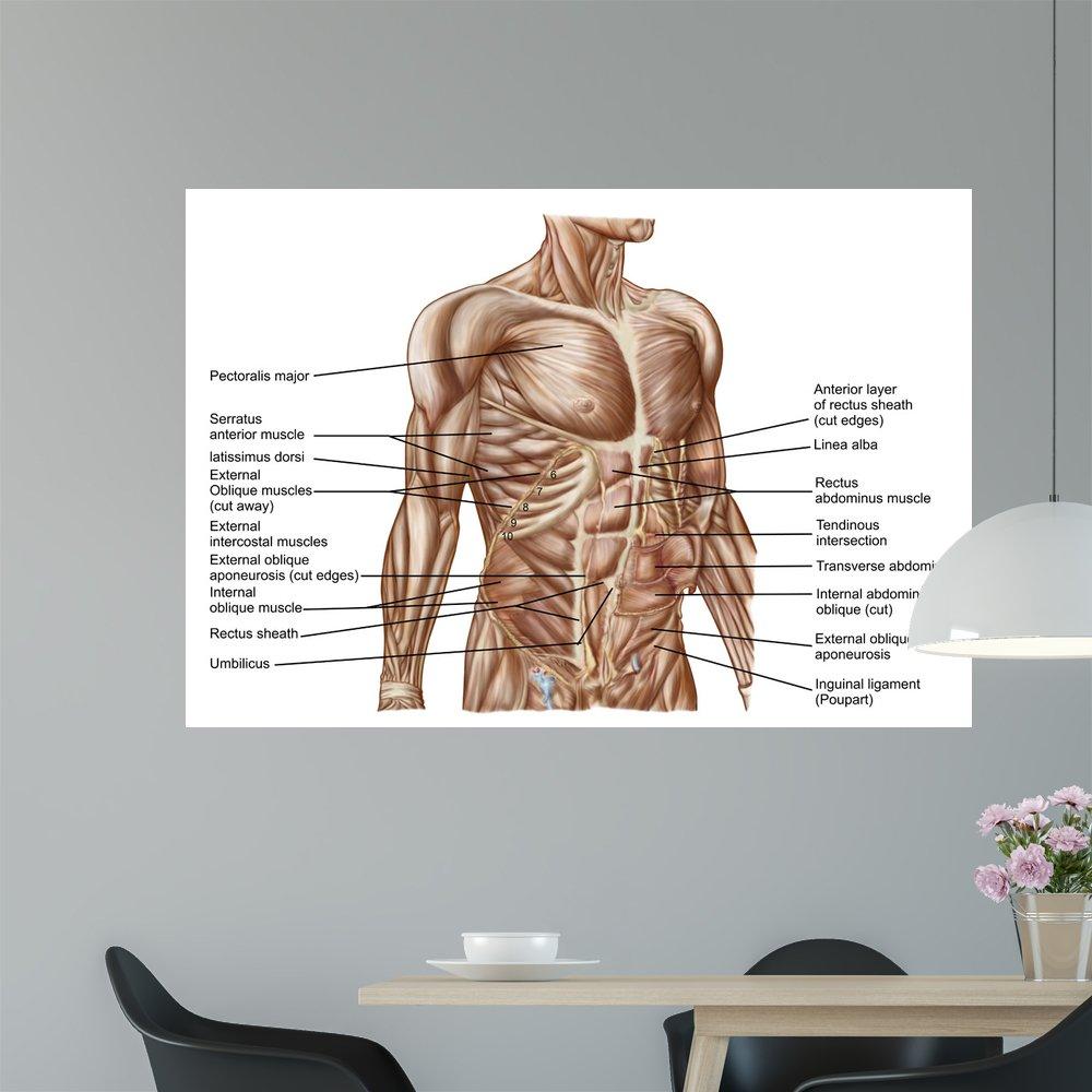 Amazon Anatomy Human Abdominal Muscles Wall Mural By