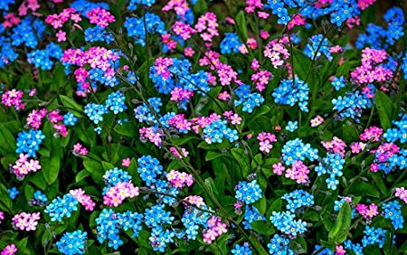 60 Blue White and Rose Mix Forget-Me-Not Myosotis Perennial Flower Seeds
