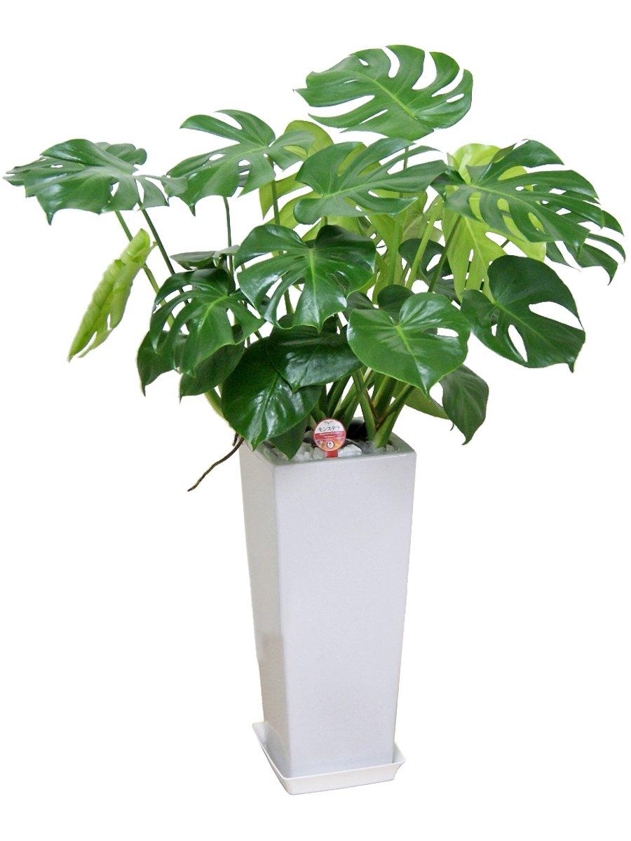 観葉植物 モンステラ8号高陶器鉢-角 B00NCUB1R6