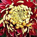 Narutosak 100Pcs Rare Bicolor Red Yellow Chrysanthemum Flower Plant Seeds Morifolium