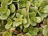 Earthcare Seeds Golden Purslane 300 Seeds (Portulaca oleracea)
