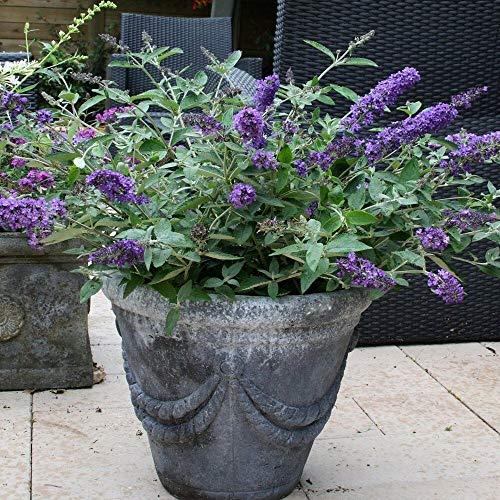 Quart Pot Blue Heaven Flutterby Petite Dwarf Butterfly Bush Live Plant Flower Shrub Live Planting