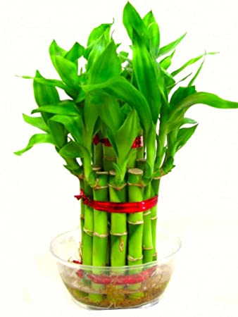 Billedresultat for lucky bamboo