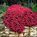 Mr.seeds-Rock Cress - Bright Red Seeds Perennial Flowering Groundcover Seeds So Beautiful And Easy To Grow , 50 Particle / Bag