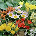 Van Zyverden Tulips Little Treasures Collection Set of 50 bulbs