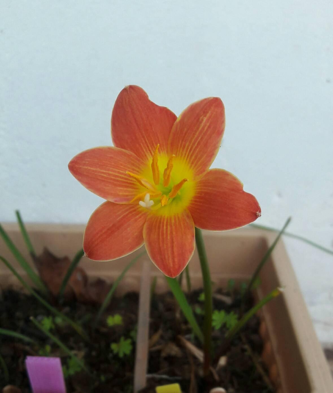 Amazon Rain Lily Bulb Zephyranthes Java Magic Lily