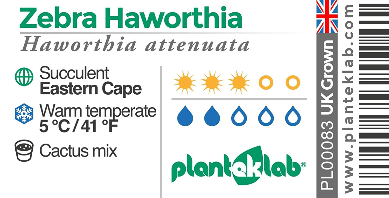 Haworthia attenuata Zebra Haworthia 5.5cm Pot Beautiful Young Succulents Grown in The UK
