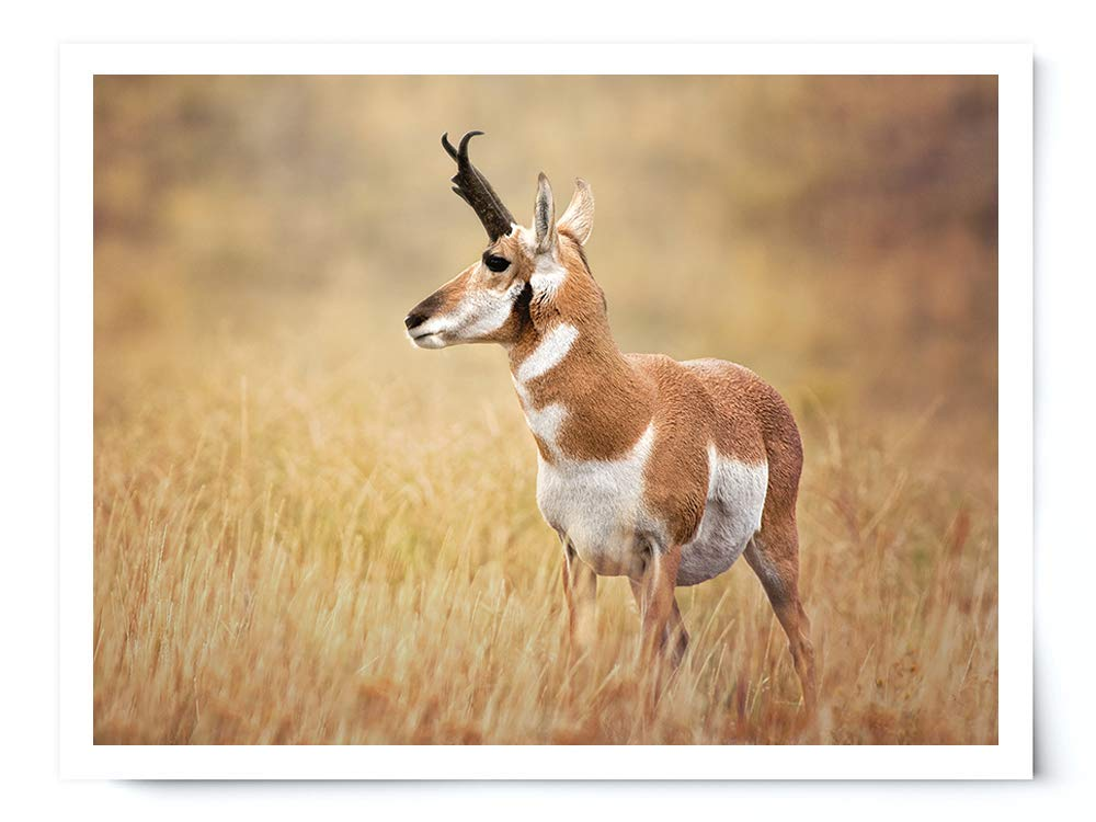 Pronghorn Sheep - Wildlife Photograph Animal Picture Home Decor Wall Nature Print - Variety of Sizes Available