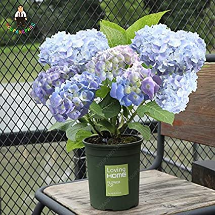 Amazon Com Pinkdose 50 Pcs Bag Bonsai Hydrangea Flower Mixed