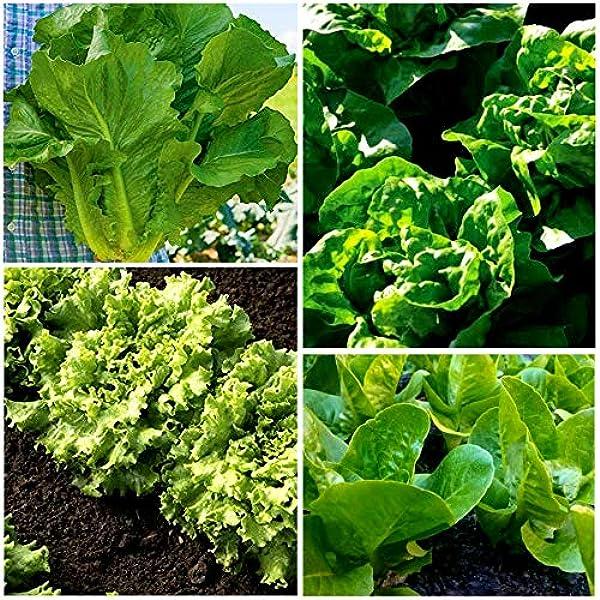 Davids Garden Seeds Collection Set Heat Tolerant Lettuce Green Varieties NonGMO Open Pollinated Seeds