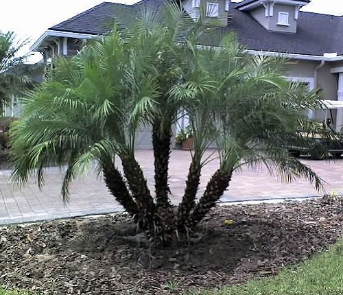 Amazon.com : Pygmy Date Palm 20 Seeds   Phoenix Roebelenii : Tree Plants :  Patio, Lawn U0026 Garden
